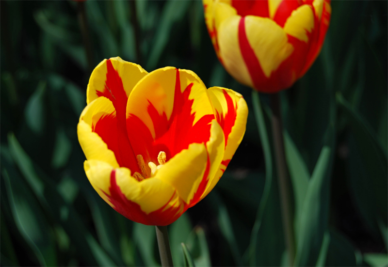 holland queen - tulipany 2.jpg